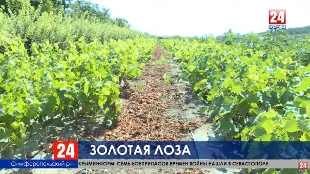 За 5 лет Крым получил свыше одного млрд субсидий на развитие виноградства