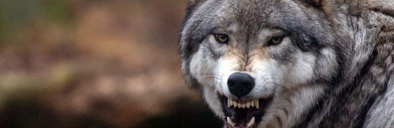 Под Симферополем три человека пострадали от нападений волков