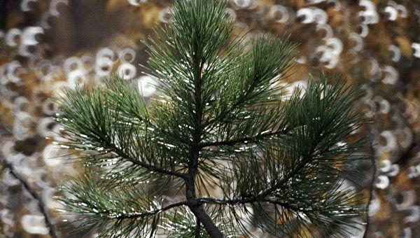 В Крыму сосну Палласа будут выращивать к новогодним праздникам