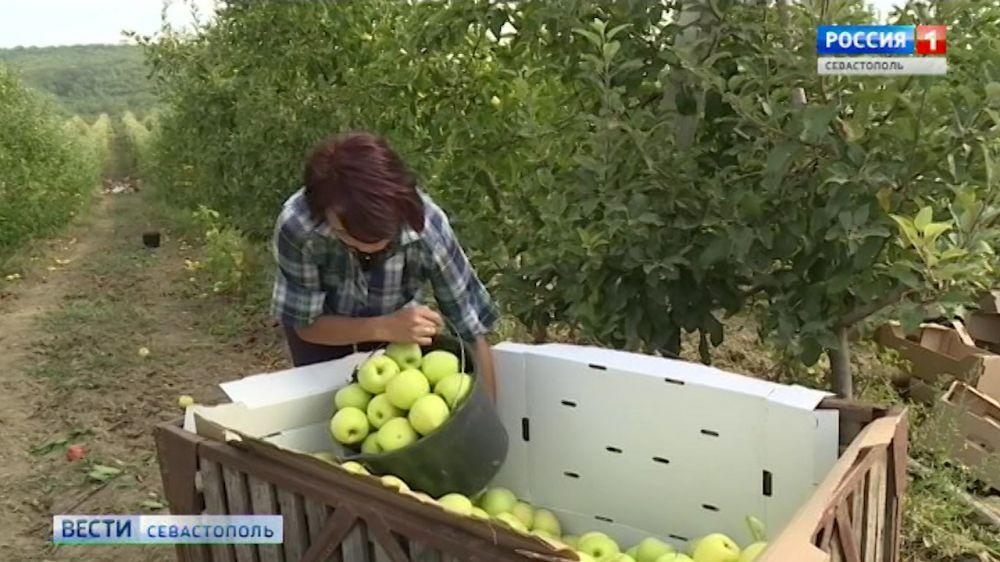 Яблоки «на грани срыва». В Крыму начался массовый сбор урожая