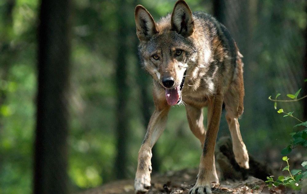 Волк, напавший на людей в Симферопольском районе, болел бешенством