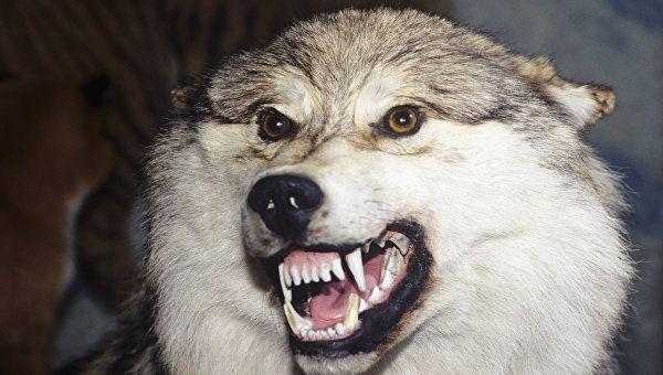 По следам бешеного волка: подробности нападения серого хищника на крымчан