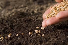 Более 130 сертификатов выдано на семена озимых для реализации в Крыму
