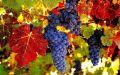 Более 33 тысяч тонн винограда собрали в Крыму
