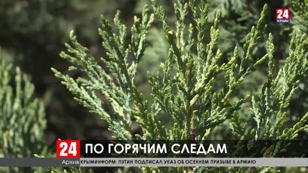 В Крыму продолжают бороться с незаконной вырубкой краснокнижных деревьев