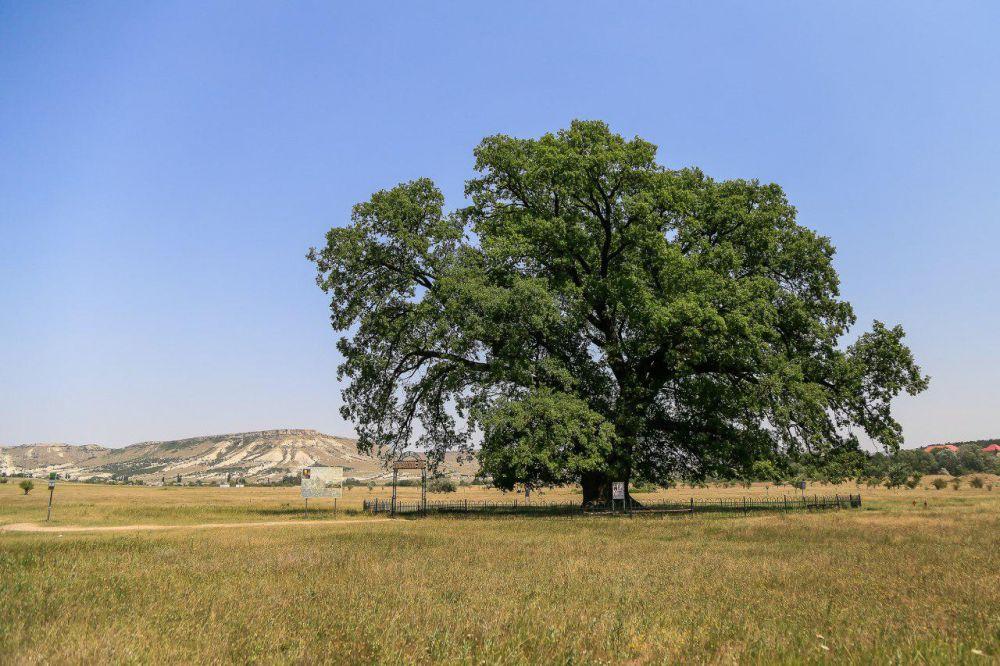Четыре дуба вместо ясеней: в парке «Алупкинский» проведены плановые работы