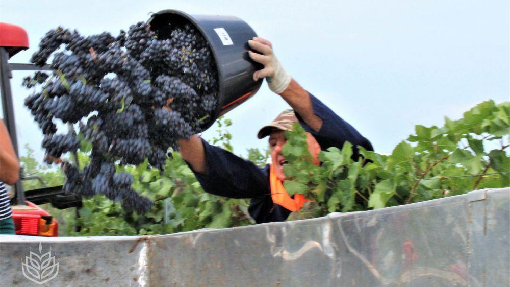 Андрей Рюмшин: Уборочная кампания винограда перешла в завершающую стадию