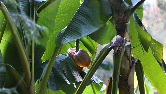 В Крыму настолько теплая осень, что в Судаке расцвели бананы