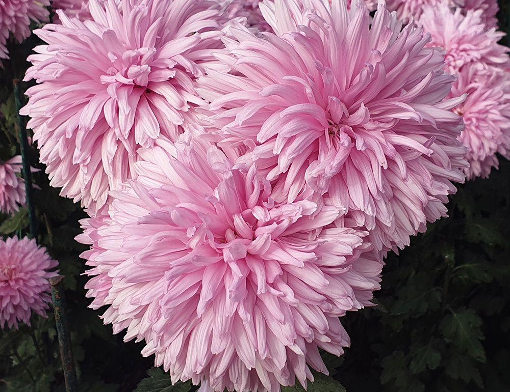 17 ноября в Никитском саду выберут королеву Бала хризантем «Золотой цветок» – 2019