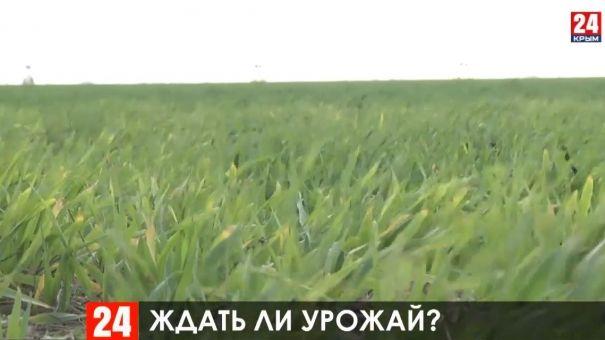 Урожай озимых в Крыму под угрозой из-за погодных аномалий