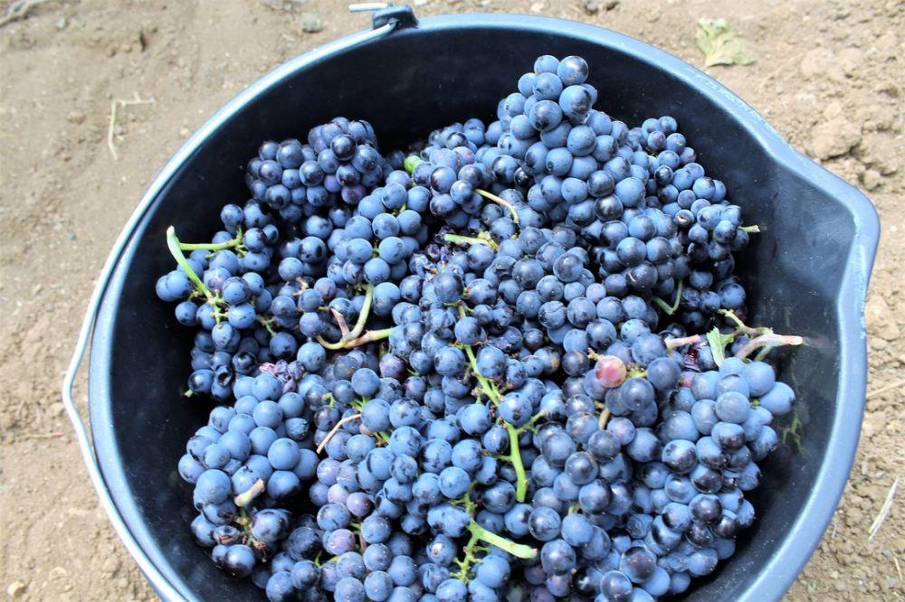 Уборка винограда завершилась в Крыму: собрали более 74 тысяч тонн
