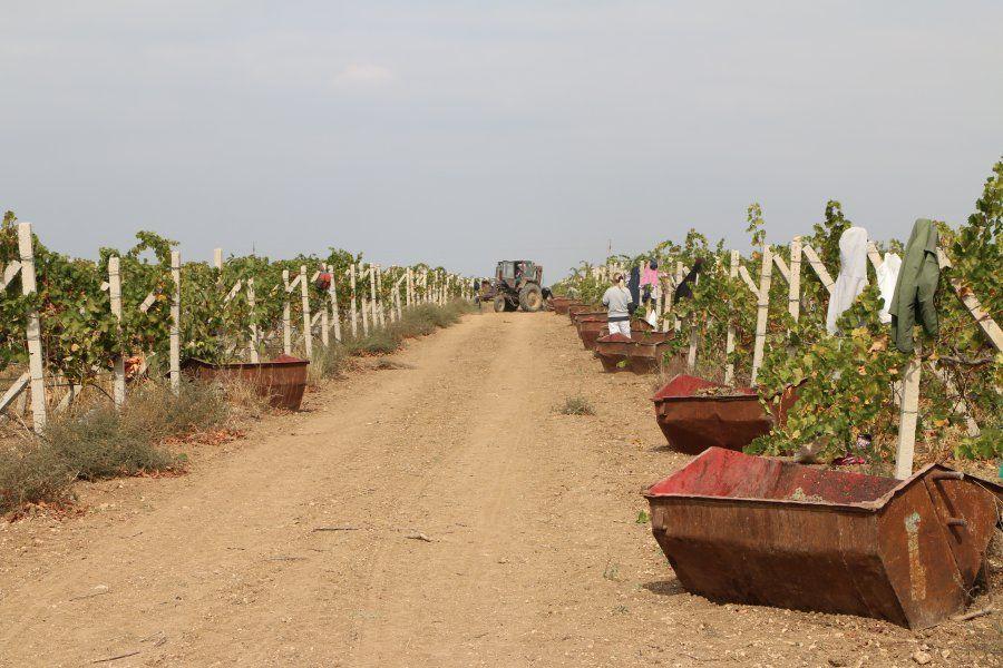 В Крыму собрали урожай винограда