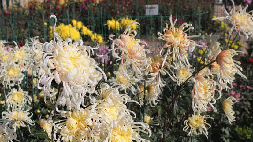 В Крыму определили самый красивый цветок ежегодного Бала хризантем