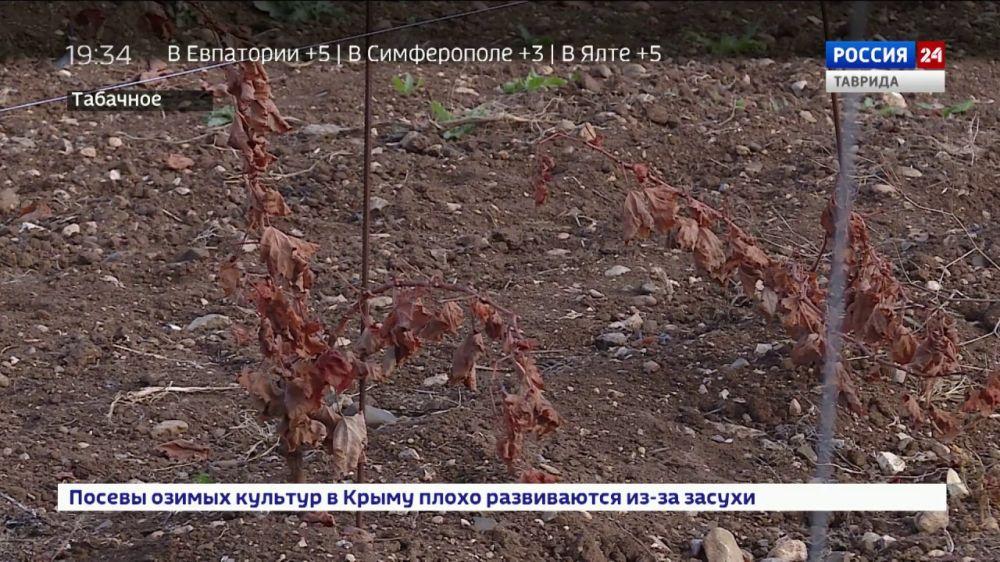 Из-за аномальной засухи в Крыму может случиться неурожай