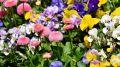 В крымской столице высадят пять тысяч весенних цветов