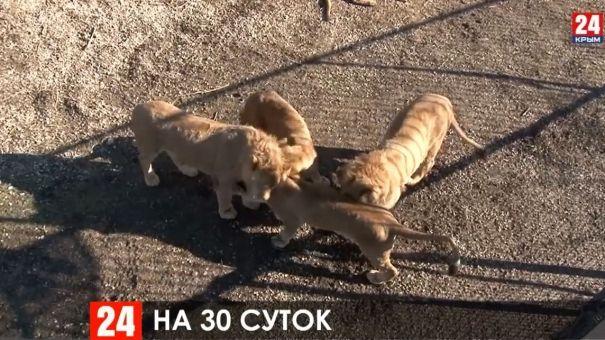 """Суд приостановил деятельность парка львов """"Тайган"""" на 30 суток"""