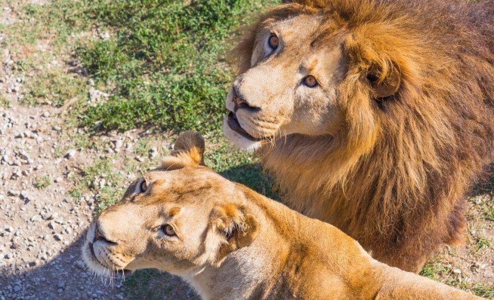 Животных из «Тайгана» хочет забрать экс-мэр столицы Ингушетии