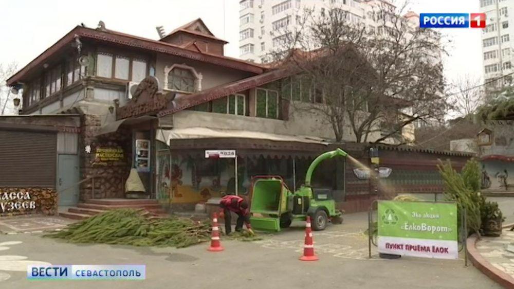В Севастополе «Елковорот» решит проблему утилизации новогодних деревьев
