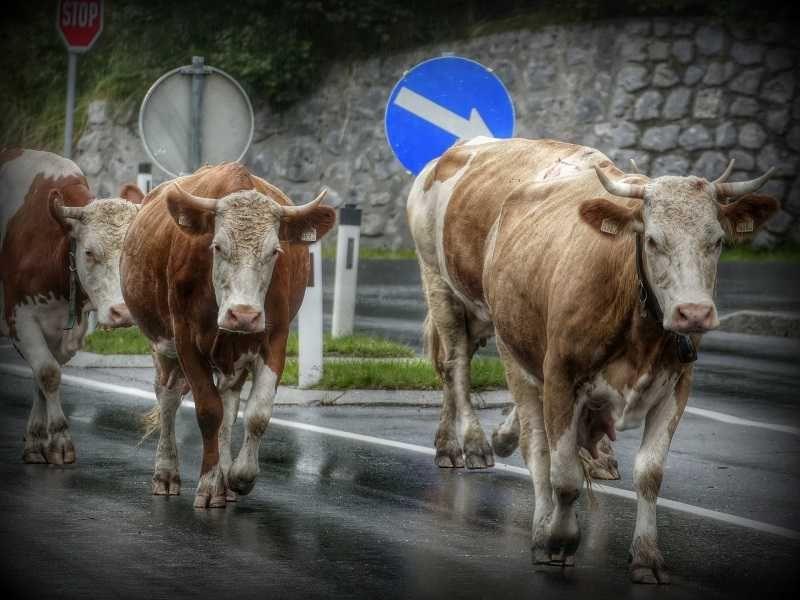 Две коровы на дороге в Крыму попали в ДТП