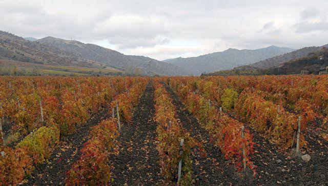 В Севастополе побили рекорд по высадке виноградников