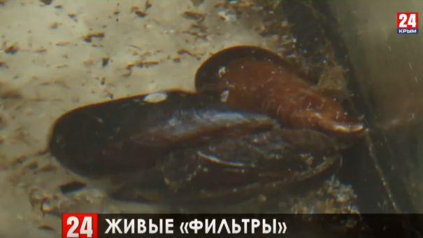 """Живые """"фильтры"""": в Керченском проливе возобновят искусственное разведение мидий"""