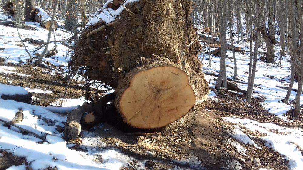 Лесной охраной пресечена незаконная рубка лесных насаждений вблизи с. Перевальное