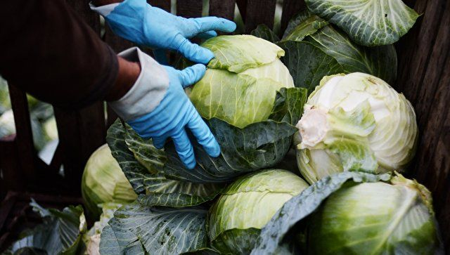 В Германии назвали четыре преимущества квашеной капусты