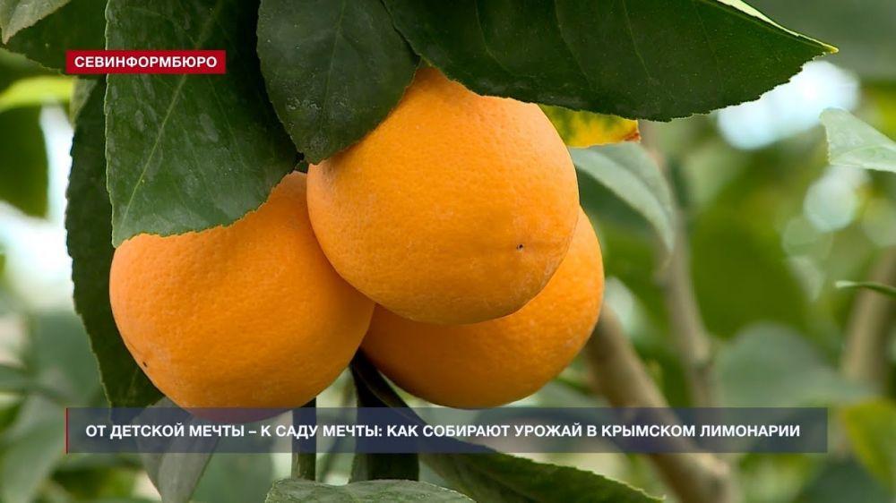 Элитные сорта лимона выращивают в Крыму