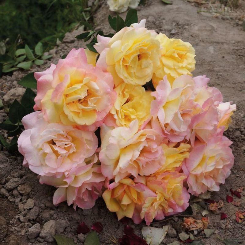 В Ливадийском дворце высадили 200 кустов самой знаменитой розы ХХ века