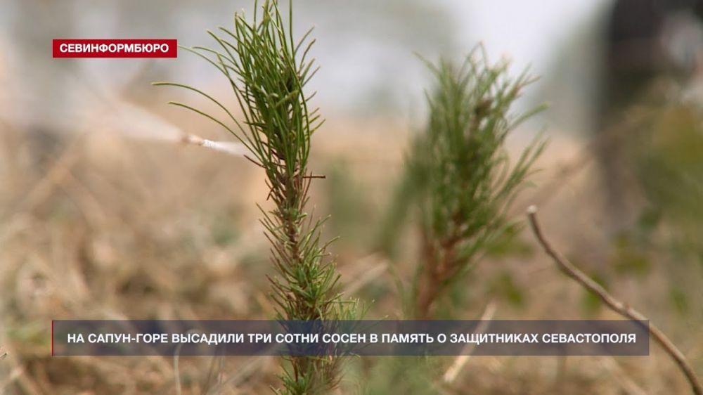 На Сапун-горе высадили три сотни сосен в память о защитниках Севастополя