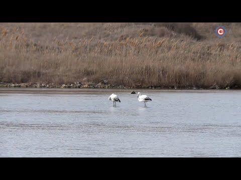 В Севастополе впервые отмечены розовые фламинго (СЮЖЕТ)
