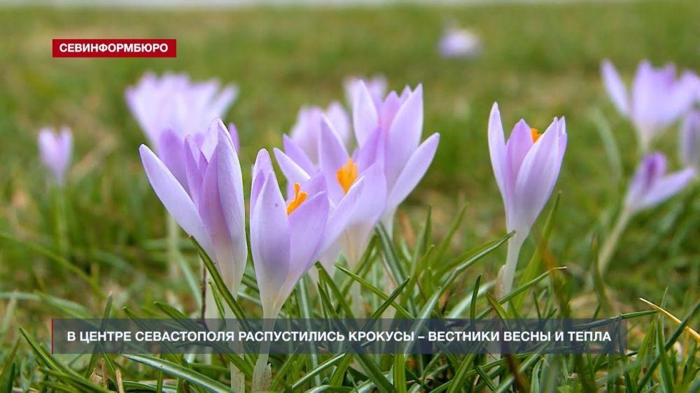 В центре Севастополя распустились крокусы – вестники весны и тепла