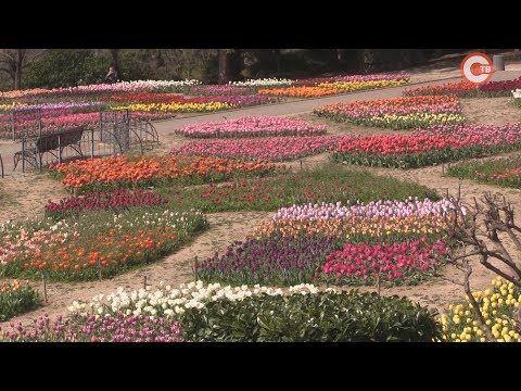 В Никитском ботаническом саду выбирают «генерала» «Парада тюльпанов» (СЮЖЕТ)