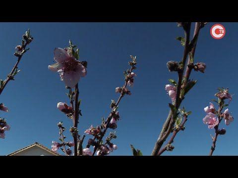 В средневековой генуэзской усадьбе на Федюхиных высотах расцвели миндаль и персики (СЮЖЕТ)