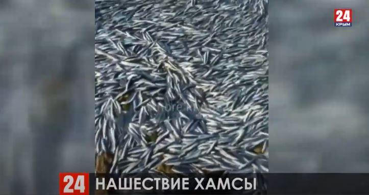 Массовый выброс хамсы произошёл возле поселка Черноморское из-за сильного шторма
