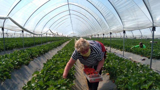 Как собирают ароматный урожай: В Крыму поспела ранняя клубника - видео