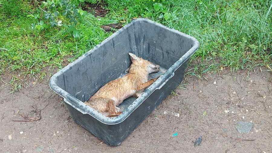 В Госкомветеринарии Крыма поступила информация об обнаружении трупа лисы в зеленой зоне вблизи жилого многоэтажного дома в п. ГРЭС