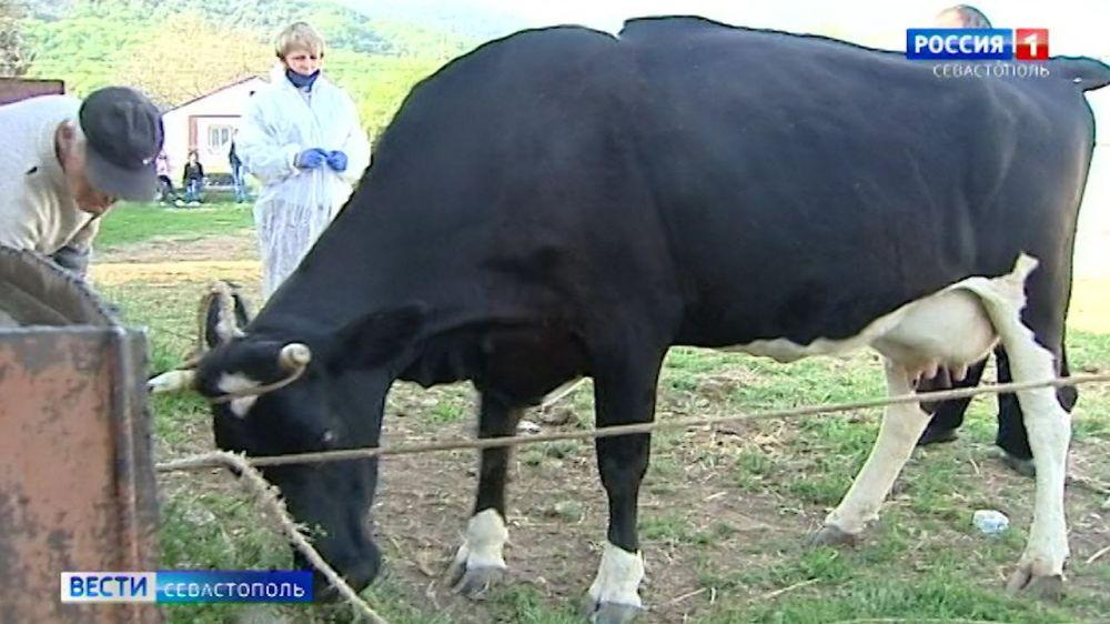 Севастопольские ветеринары проверяют домашний скот на инфекционные заболевания