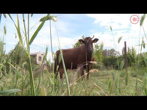 Севастопольские ветеринары проверяют крупный рогатый скот на инфекционные заболевания (СЮЖЕТ)
