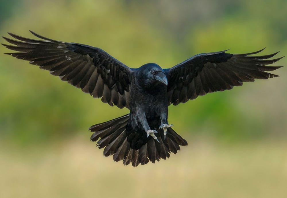 В Феодосии ворона набросилась на кошку