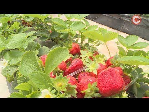 10 тонн земляники за сезон планируют собрать в одном из фермерских хозяйств города (СЮЖЕТ)