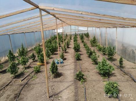 В Крымском селе участковые обнаружили плантацию конопли