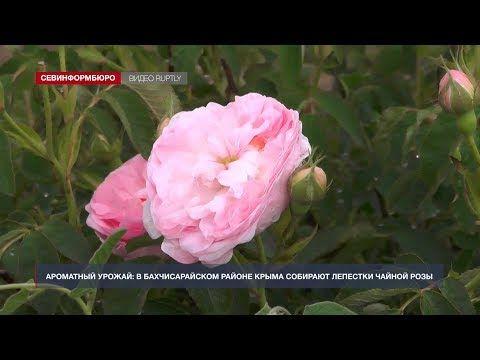 В Крыму собирают урожай лепестков роз