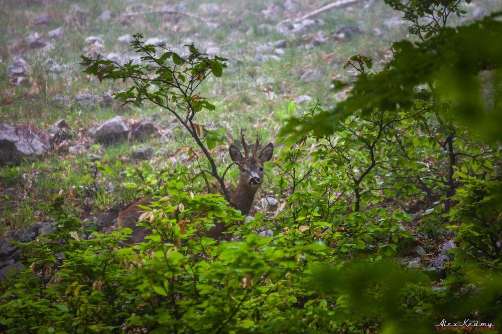 В лесу на южном берегу Крыма гуляют косули