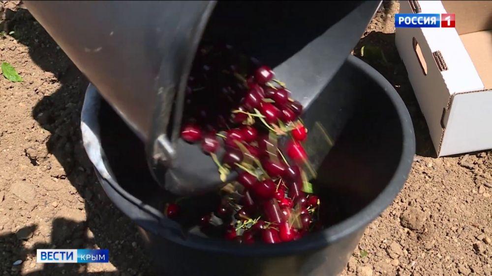 В Крыму поспел первый урожай черешни