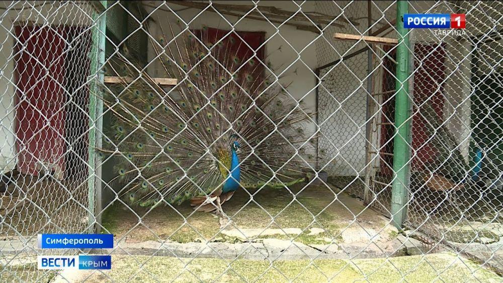 В крымском зоопарке два павлина родились благодаря курице