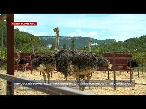 Терновский фермер будет производить для севастопольцев страусиное мясо