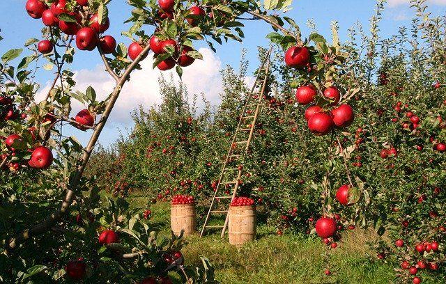Около 30% крымских аграриев застраховали свои сады