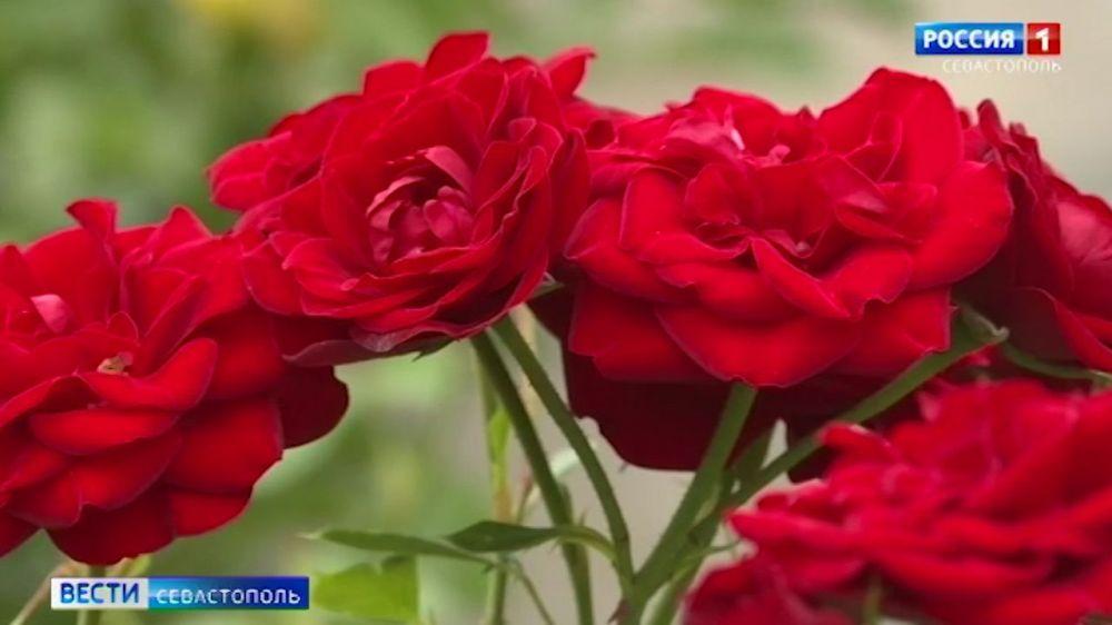 В Севастополе начался сбор розы для эфирных масел