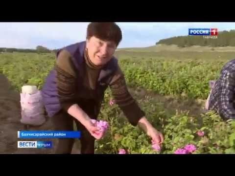 Под Бахчисараем собрали первый урожай эфиромасличной розы